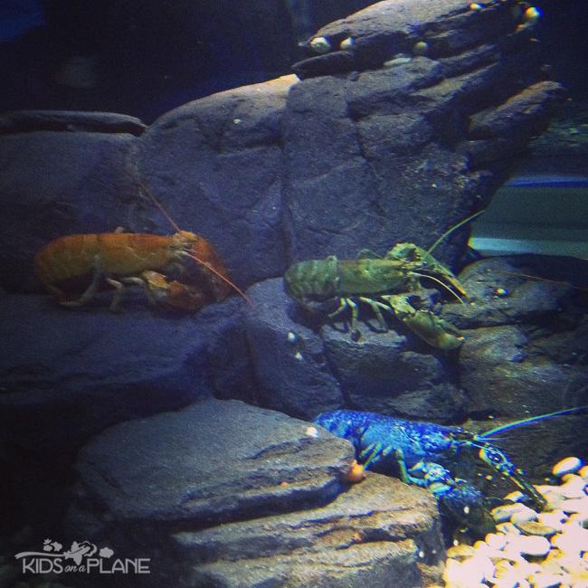 Ripley's Aquarium Toronto Review Blue Lobster | KidsOnAPlane.com #familytravel #Toronto #Ontario #Canada #aquarium